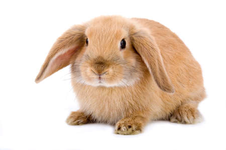 brown-white bunny, isolated on white Stock Photo