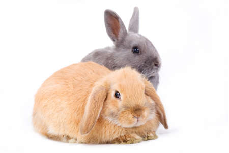 brown-white and grey bunny