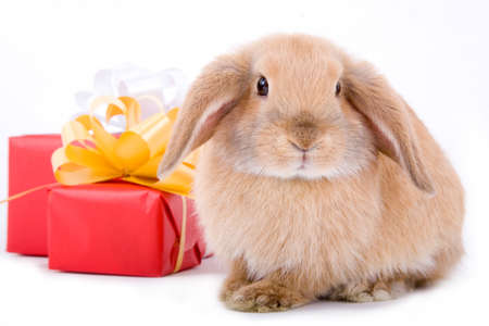 lop bunny before two red gift box with gold stars