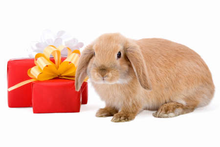 bunny xmas: lop bunny before two red gift box with gold stars