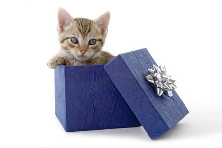 kitten (5 weeks) in a blue gift box Stock Photo