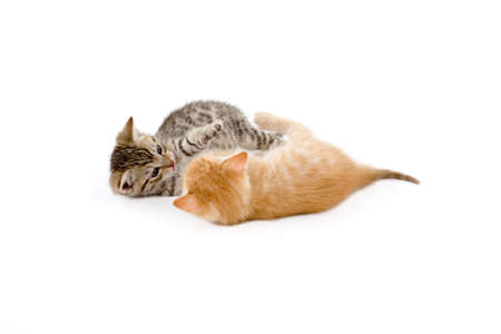 catfight: two kittens playing on white background Stock Photo