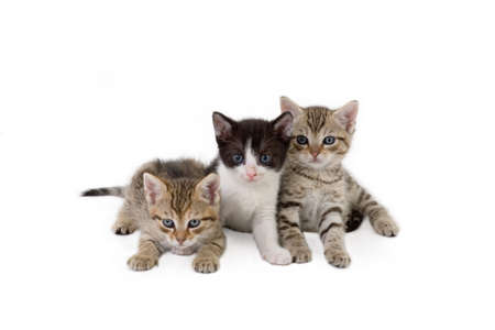 purring: three kitten brothers (5 weeks) Stock Photo