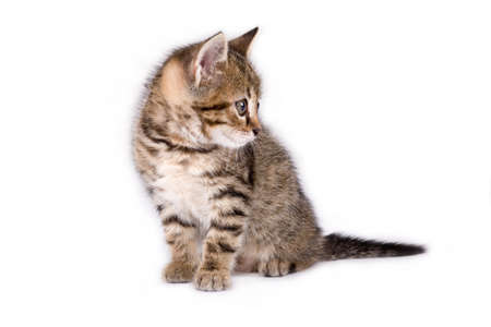 grey haired: striped kitten lying down