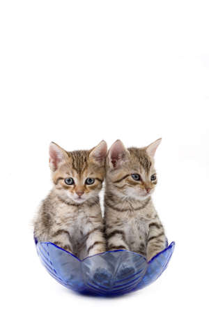 two kittens (5 weeks) in a glass bowl
