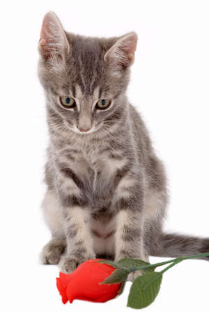 grey haired: striped kitten standing on a floor and looking a red rose