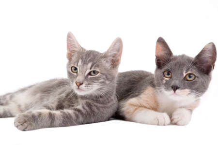 grey haired: two kittens lying down, isolated