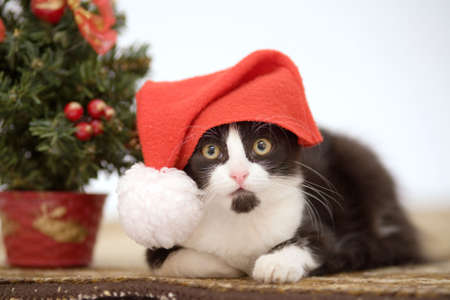 grey haired: kitten in a santa hat and christmas tree