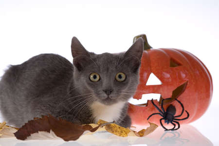halloween pumpkin with spider and a grey cat photo