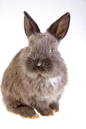 grey bunny, isolated