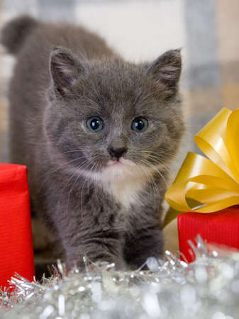 grey kitten and two red gift box