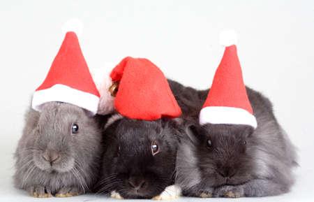 three bunny in santa hat