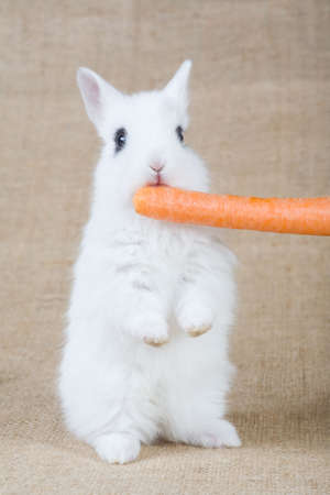 white bunny with carrot, isolated on white photo