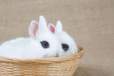 two white bunny in the basket photo