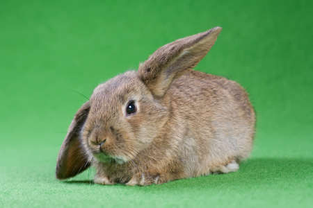 brown bunny, isolated on green background photo
