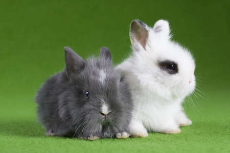 grey and white bunny, isolated on green background photo
