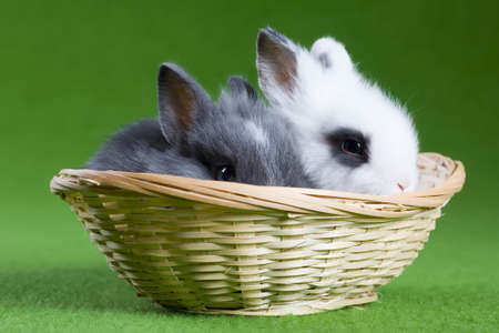 grey and white bunny in the basket, isolated on green background photo