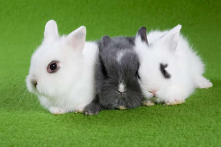 three bunny, isolated on green background