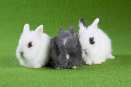 three bunny, isolated on green background photo