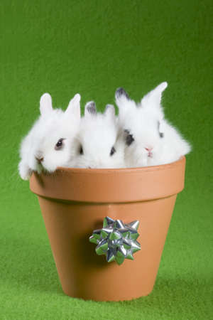 three white bunny in the flower pot, isolated on green background photo