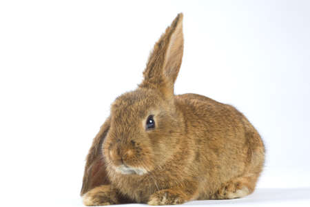brown bunny, isolated on white background photo