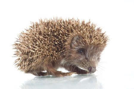 Young hedgehog in front of a white background photo