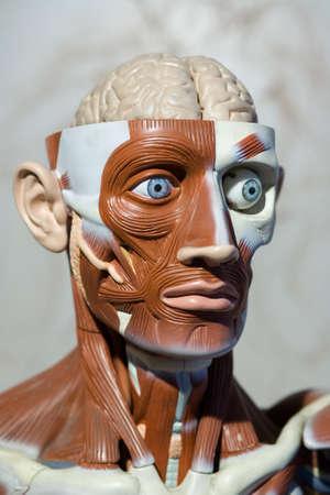 artificial model: human anatomy model Stock Photo