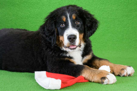 bernese mountain dog with red hat, isolated on green photo