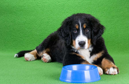 lying young bernese mountain dog and food dish, isolated on green photo