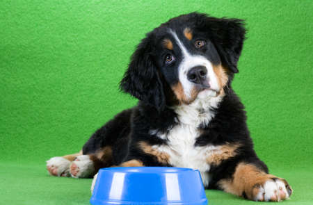 dog food: lying young bernese mountain dog and food dish, isolated on green Stock Photo