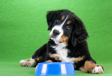 lying young bernese mountain dog and food dish, isolated on green Stock Photo - 9337486