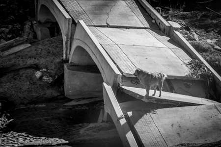 Black & White Photo of a Golden Retriever Dog Standing on an Isolated Broken Concrete Bridge - with Collapsed Arches, and a Dried Waterbed Below on a Sunny Day