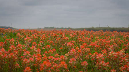 Sprawling Field of Red Wildflowers Under a Cloudy Grey Sky - with Countryside in the Distance in Central Texas