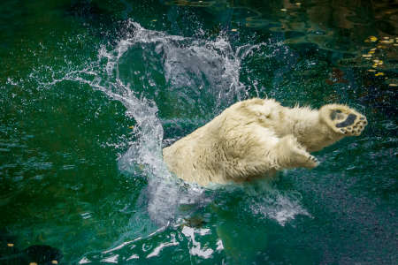 Action Photo of a Polar Bear Jumping into Water - with Legs Sticking Out and Creating a Large Splash at a Zoo Banco de Imagens