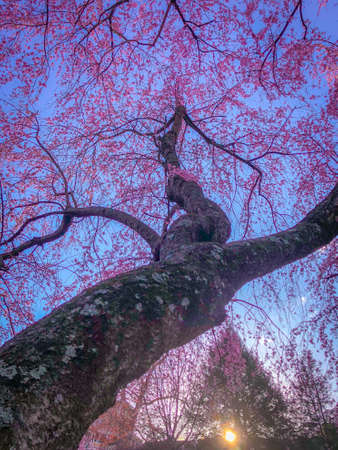 Vibrant Photo of a Blossom Tree with Pink Buds at Sunrise, Looking Up from the Bottom of the Trunk
