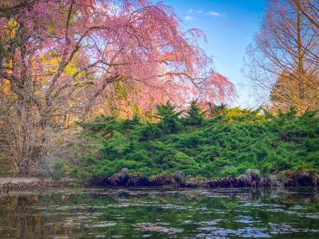Pink Blossom Tree by a Lake, with Green Bushes and Reflective Water and a Bright, Blue Sky in the Background Banco de Imagens