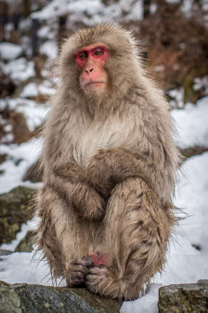 Snow Monkey Sitting in the Forest - Perched on a Rock, with Snow and Foliage in the Background in a Mountainous Region of Japan in the Winter