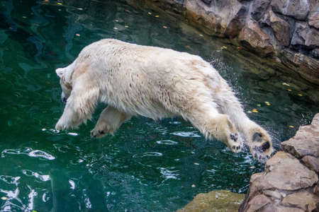 Action Photo of a Wet Polar Bear Diving into a Pool of Aqua Blue Water at the Zoo Banco de Imagens