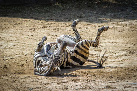 Funny Photo of a Playful Zebra Rolling Around in the Dirt on a Hot Summer Day Banco de Imagens