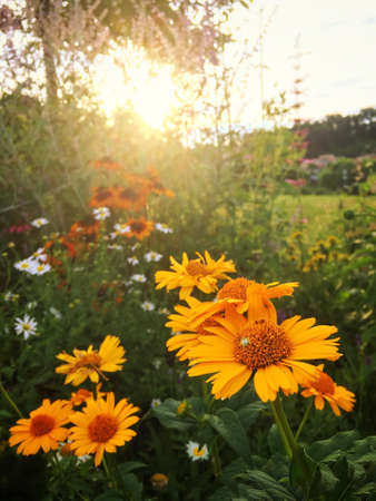 Close Up Photo of Yellow Flowers at Sunset - with Flowers and Green Brush in the Background on a Bright Summer Evening