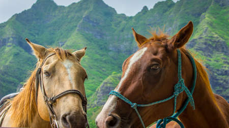 Colorful Photo of Two Horses, Tan and Brown, in Harnesses Standing Together - with Lush Green Mountains in the Background