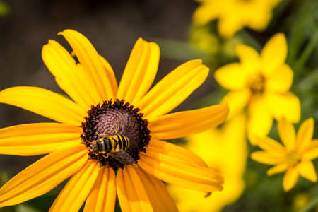 Vivid, Close Up Photo of a Bee Perched on a Yellow Flower - Collecting Pollen in the Summer with More Yellow Flowers in the Background