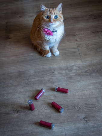Funny Photo of a Small, Orange Colored Cat Sitting in Front of a Pile of Shotgun Shells, with a Wood Floor in the Background Banco de Imagens