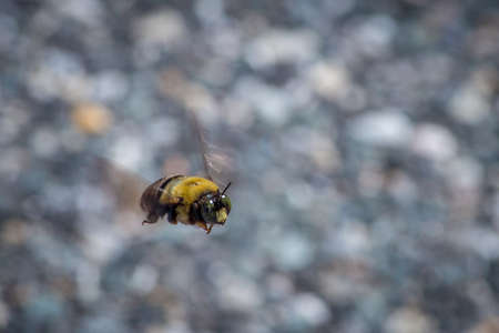 Close Up Photo of a Bee Flying Over a Patch of Speckled Road Asphalt on a Bright Summer Day Banco de Imagens