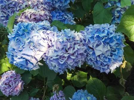Hydrangea is pink, blue, lilac, violet, purple bushes of flowers are blooming in spring and summer at sunset in town garden. Stock Photo