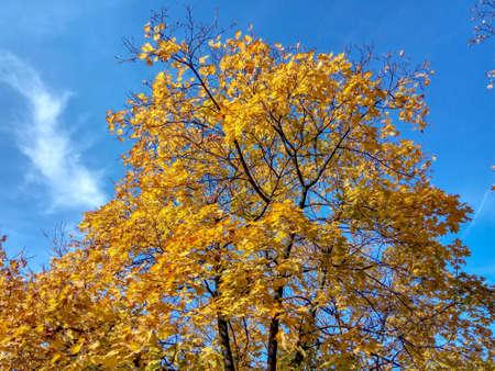 Otoño árbol amarillo sobre un fondo de cielo azul Foto de archivo
