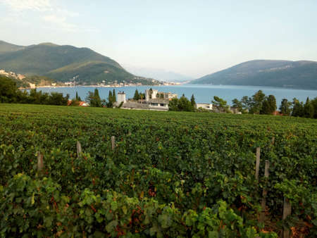 Vineyards with grapevine and winery along the wine road, Montenegro Europe Stockfoto