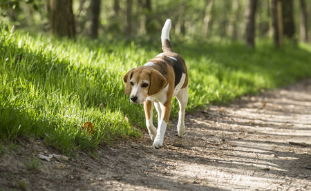 purebred dog: beagle running smile in the grass . Stock Photo