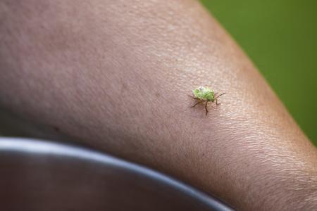 bedbug: tiny green bedbug on a female arm.