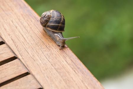 breeding: beautiful  snail in the breeding season.. Stock Photo